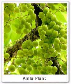 amla-plant