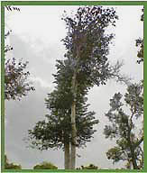 examples of deciduous trees in india