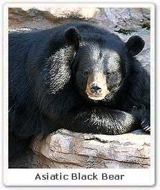 asiatic black bear asiatic black bear in india asiatic black bear