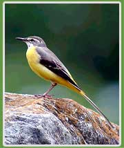 Grey Wagtail in Himachal