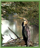 Darter Hang,  Bharatpur National Park Rajasthan