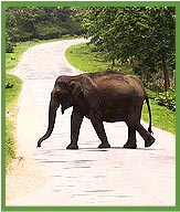 Elephant in Badhipur NAtional Park