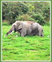 Elephant in Kaziranga National Park