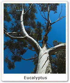 eucalyptus-tree