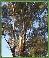 Eucylyptus Tree