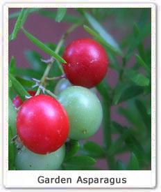 Garden Asaparagus