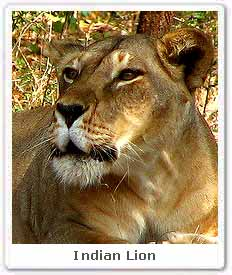 Indian Lion Photos