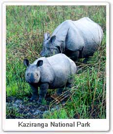 One horned Rhinoceros, Kaziranga National Park Assam