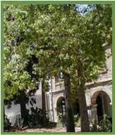 Kikar tree