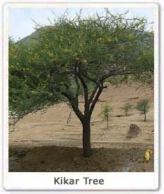 Kikar Tree, Info on Kikar tree, Medicinal Uses of Kikar Tree