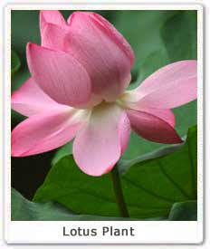 Lotus plant national flower of india propagation of lotus plant they can vary in shape from round to oval to oblong the lotus flower opens in the morning and the petals fall in the afternoon mightylinksfo