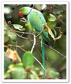 Rose ringed parakeet  feeding in tree
