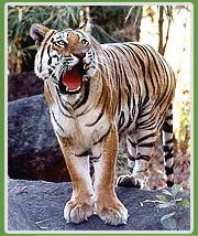 Tiger in Pench Wildlife Tour