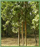 Trees of India, Types of Trees in India, Tropical Trees of India
