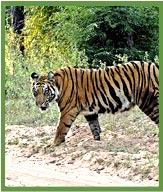 Tiger in Bandhavgarh National Park