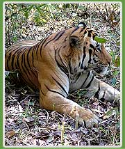 Indian Tiger in Corbett
