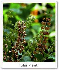 tulsi significance of tulsi in cultural importance of  tulsi plant