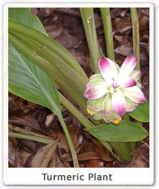 turmeric-plant